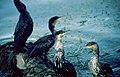 Lago-erhai-cormoranes-c01.jpg