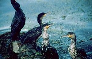Lago-erhai-cormoranes-c01