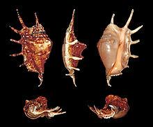 Strombidae family search