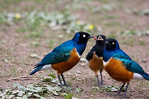 Superb starling - Image: Lamprotornis superbus Wilhelma Zoo, Stuttgart, Germany family 8a