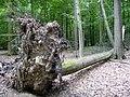 Landschaftsschutzgebiet Pferdebruch Eickholt Melle -Wurzeln- Datei 2.jpg
