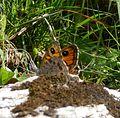 Large Wall Brown. Lasiommata m. maera f.adrasta - Flickr - gailhampshire.jpg