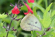 Large orange sulphur (Phoebis agarithe) female ventral.jpg
