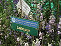 Larkspur or Delphinium from lalbagh 1793.JPG