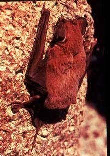 Free-tailed bat - Wikipedia