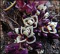 Lathraea clandestina bergeG Ciron Bernos-Beaulac 2016 a 04.JPG