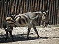 Laufendes Hartmann-Bergzebra Zoo Landau.JPG