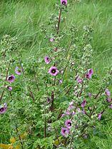 Lavatera arborea - Flickr - peganum (1).jpg
