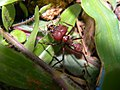 Leaf-Cutter Ant Soldier (3976781466).jpg