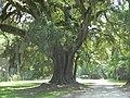 Lebanon Plantation Live Oak.jpg