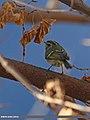 Lemon-rumped Warbler (Phylloscopus chloronotus) (16553106532).jpg