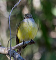Lemon Bellied Flycatcher - Fogg Dam - Northern Territory - 9 June 2014.jpg