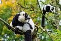 Lemur (24169243948).jpg