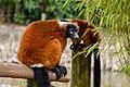 Lemur (25990333877).jpg