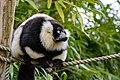 Lemur (25990438817).jpg