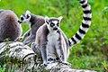 Lemur (36915652320).jpg