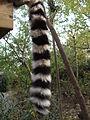 Lemur catta.007 - Faunia.JPG