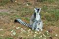 Lemur catta 02.jpg