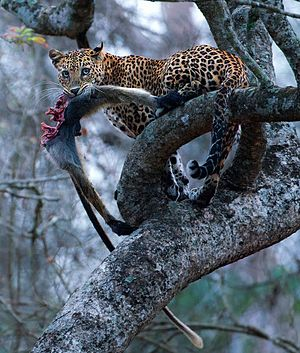 Indian leopard - Leopard with langur kill