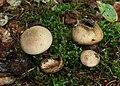 Leopardenfell-Hartbovist Scleroderma areolatum.jpg