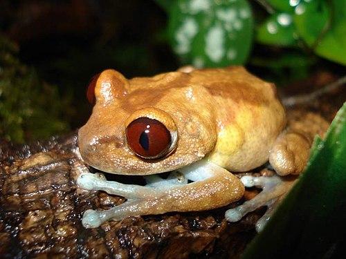 500px leptopelis uluguruensis femelle enceinte