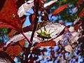 Leptophyes punctatissima 20050818 478.jpg