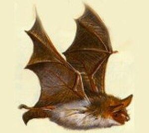 Lesser mouse-eared bat - Image: Lesser Mouse Eared Bat