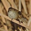 Lesser swamp warbler, Acrocephalus gracilirostris, at Marievale Nature Reserve, Gauteng, South Africa (40722474470).jpg
