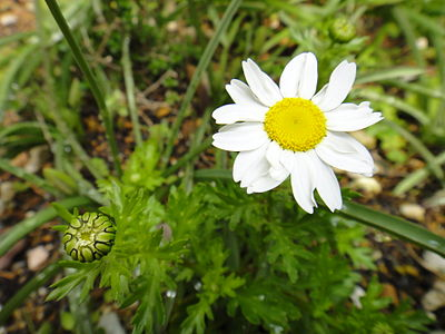 Leucanthemum vulgera with bud, which hasn't yet started growing.