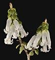 Leucopogon dielsianus - Flickr - Kevin Thiele.jpg
