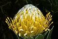 Leucospermum conocarpodendron subsp. viridum 1DS-II 5739.jpg