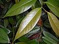 Leucothoe fontanesiana 2017-06-25 3020.jpg