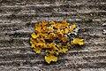 Lichen (29012346658).jpg