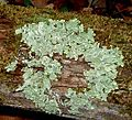 Lichen community on oak bark.jpg