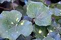 Ligularia tussilaginea Aureo-maculata 1zz.jpg