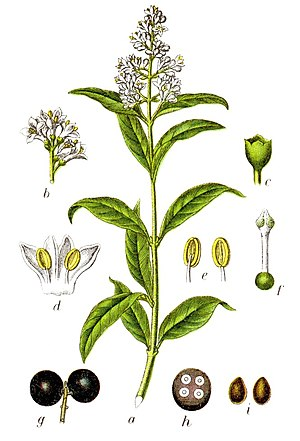 Ligustrum japonicum - Figure from Sturm 1796 Deutschlands Flora in Abbildungen