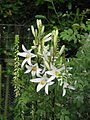 Lilium candidum (14455651673).jpg