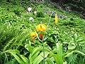Lilium columbianum - Flickr - brewbooks (1).jpg