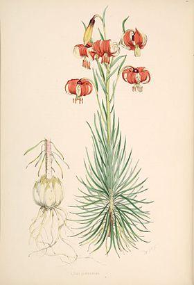 Lilium pomponium.jpg