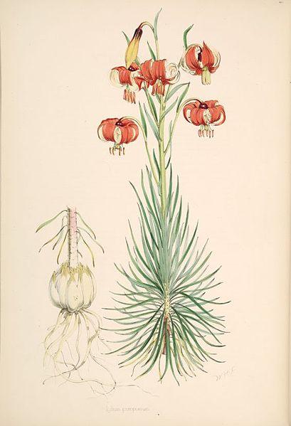 File:Lilium pomponium.jpg