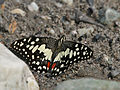Lime Butterfly (Papilio demoleus) at Jayanti, Duars, West Bengal W Picture 187.jpg