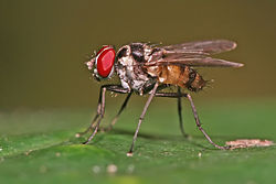 meaning of muscidae