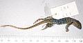 Liolaemus nigromaculatus holotype - ZooKeys-294-037-g002.jpeg