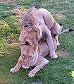 Lion pair2.jpg