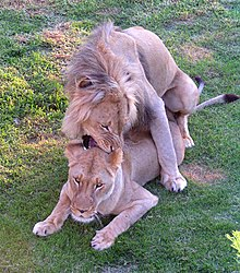 hoe groot is een leeuwen lul lesbische porno met squirting