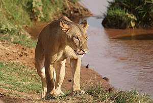 Samburu National Reserve - Lioness at Samburu