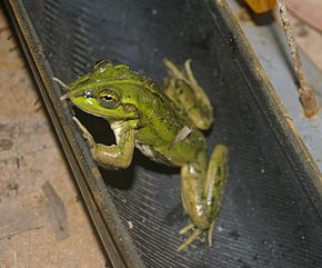 Description de l'image Litoria dahlii.jpg.