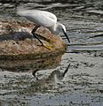 Little Egret (Egretta garzetta)- Breeding plumage- catching prey in Hyderabad, AP W IMG 7669.jpg