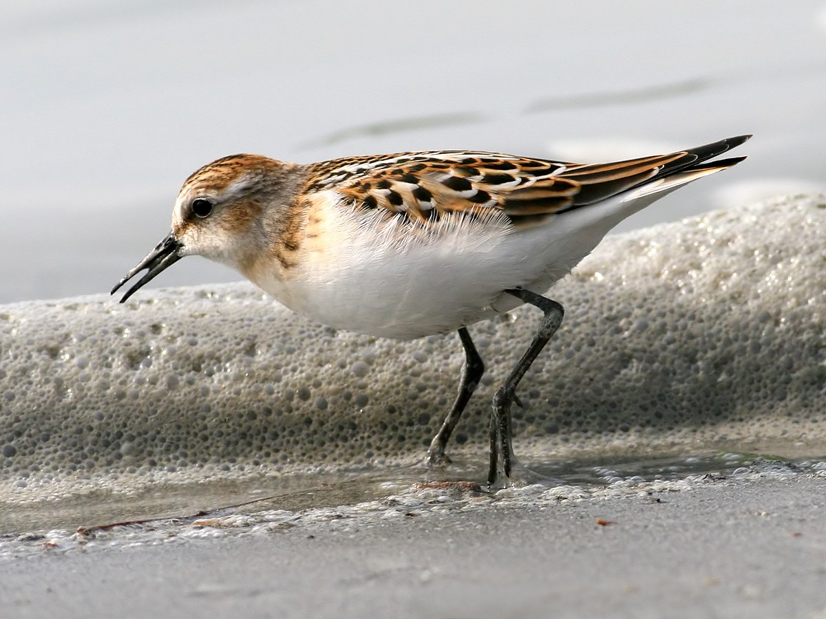 little stint wikipedia