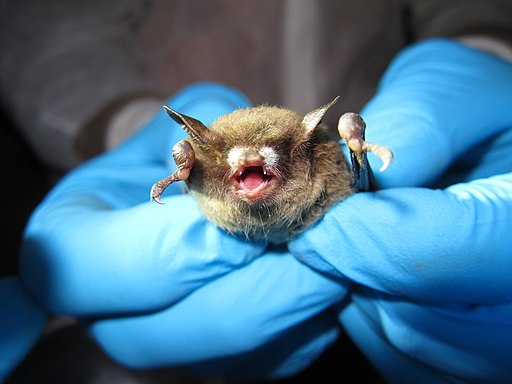 Little brown bat with visible symptoms typical of WNS (8509677349)